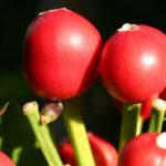 Fig. 8. Frugter (bær) af Clivia miniata hvor spiringen er i gang. Peg med musen og se kimrod på udsnits forstørrelse.