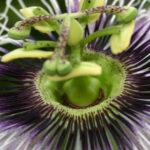 passiflora_racemosa_ x_7340uds